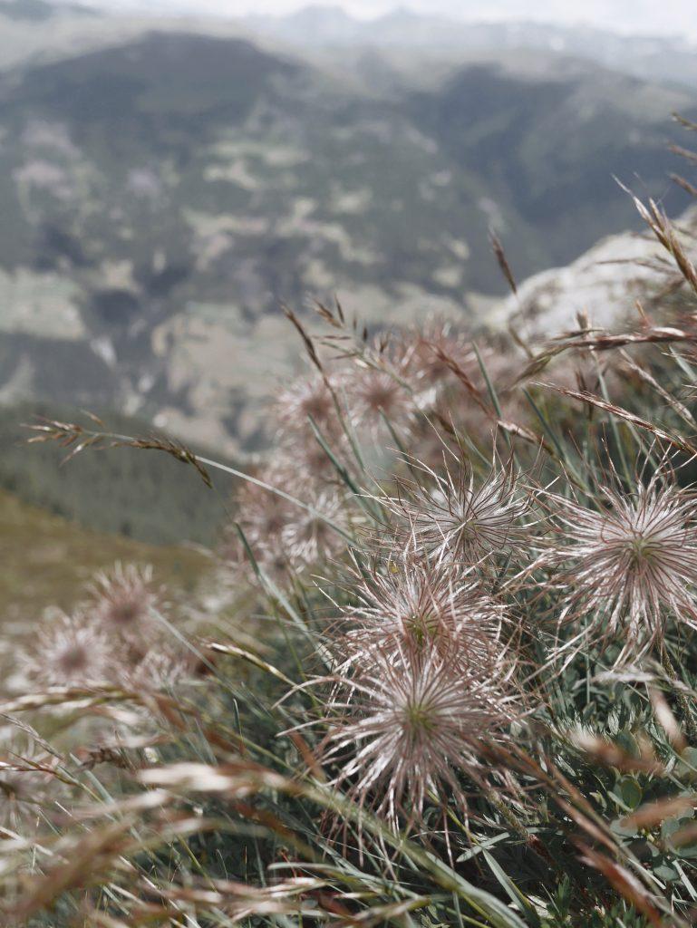 fleur-montagne